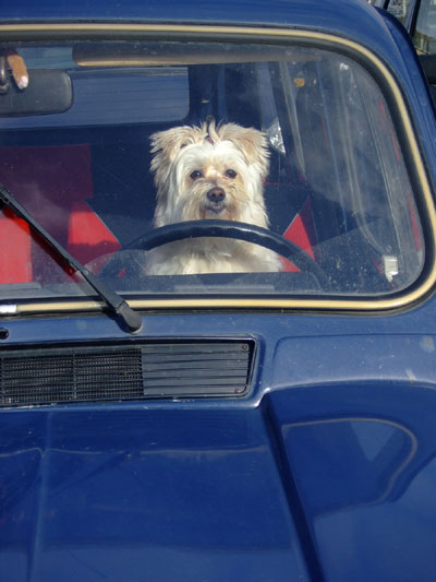 Dog-in-Driver-seat