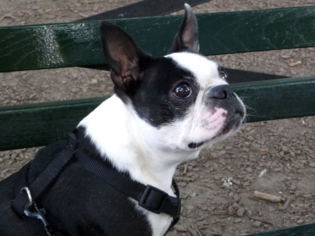 Boston-Bull-terrier2