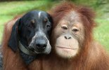 Best Buddies - Orangutan and Blue Tick Hound Dog