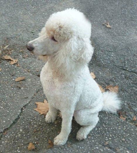 Prissy-Poodle