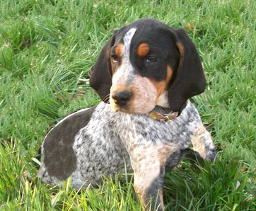 Train Blue Tick Coonhound As a Puppy for Family Dog ...